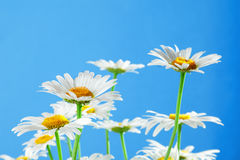 Chamomile bouquet Royalty Free Stock Photos