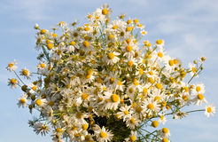 Chamomile bouquet against a blue sky background Royalty Free Stock Photography