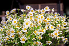 Chamomile bouquet in  glass vase. On the wood table. Selective focus. with bokeh Stock Photos