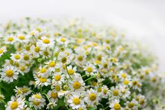 Chamomile bouquet with white fone stock photo