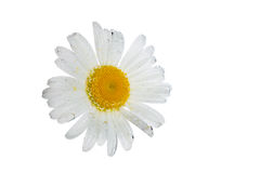 Chamomile with bubbles of soda Stock Images