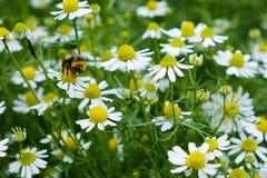 Chamomile and Bumblebee Stock Photos