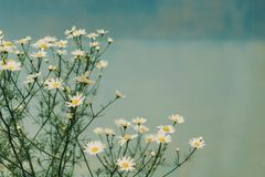 Chamomile flowers. Chamomile background. White flowers on a blue background. stock image