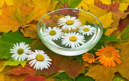Chamomile and calendula flowers on maple leaves Royalty Free Stock Images
