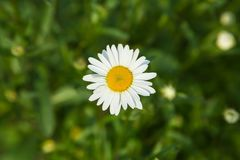 Neat beautiful daisy on the background of blurred green grass and foliage. royalty free stock photography