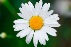 Chamomile or camomile flower with drops of dew on the white petals  on the morning. Close-up. Stock Images