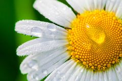 Chamomile or camomile flower with drops of water on the white petals after rain on the green background . Close-up. Macro stock photography