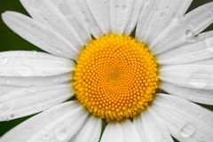 Chamomile or camomile flower with drops of water on the white petals after rain on the green background . Close-up. Royalty Free Stock Images