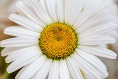 Chamomile or camomile flower macro photo, spring and summer blossom flower background royalty free stock photo