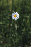Chamomile or camomile flowers in the garden Stock Photography