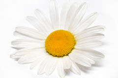 Chamomile or camomile flowers isolated on white background Stock Images