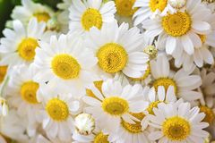 Chamomile or camomile flowers Matricaria chamomilla, aromatic wild flower, used as tea ingredient in herbal medicine floral patter Royalty Free Stock Images
