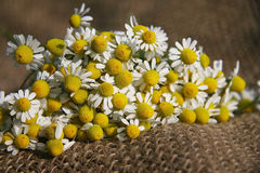 Chamomile or camomile Royalty Free Stock Image