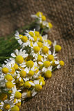 Chamomile or camomile Stock Images