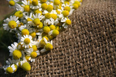 Chamomile or camomile Royalty Free Stock Photos