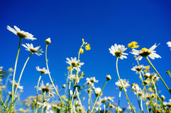 Chamomile(Camomile) and Rapeseed (Brassica napus) with blue sky Royalty Free Stock Photo