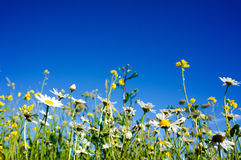 Chamomile(Camomile) and Rapeseed (Brassica napus) with blue sky Royalty Free Stock Images