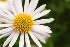 Chamomile or camomile white flower close-up macro photography with yellow center during Spring Summer. Royalty Free Stock Images