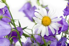 Chamomile and campanulas Stock Images