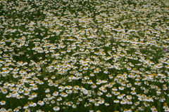 Chamomile carpet. A picture of a garden full of beautiful chamomile flowers Stock Images