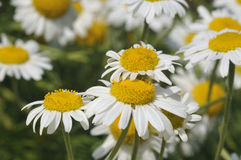 Chamomile. Chamaemelum nobile Group of White Daisy like flower Royalty Free Stock Image