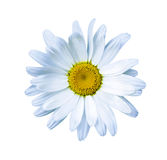 Chamomile. Chamomile flower. Green grass and chamomiles in the n Royalty Free Stock Images