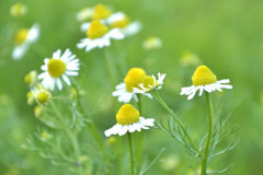 Chamomile. S on a green background Royalty Free Stock Photos