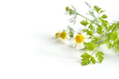 Chamomile and chervil Stock Images