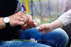 Chamomile in a child's hands Royalty Free Stock Photo