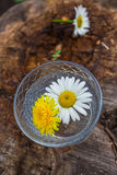 Chamomile chrysanthemums floating on the water Stock Images