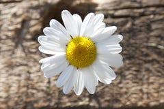 Chamomile close-up Stock Image