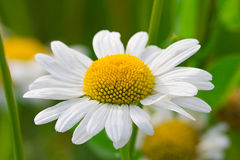 Chamomile close up Royalty Free Stock Image