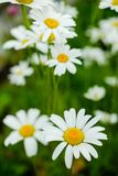 Chamomile close-up Stock Images