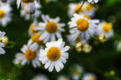 Chamomile close-up, selective focus, macro photo. And copy space Royalty Free Stock Photos