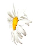 Chamomile. Close-up view Stock Images