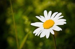 Chamomile closeup Stock Photography