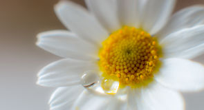 Chamomile closeup royalty free stock photos