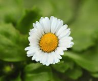 Chamomile Royalty Free Stock Photography