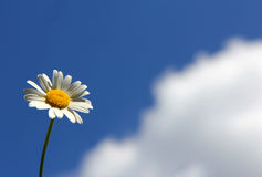 Chamomile and cloud Stock Photography