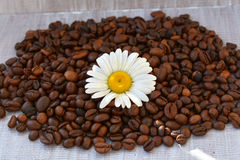 Chamomile on coffee beans background closeup. Bright chamomile on dark coffee beans. Chamomile on coffee beans background close up. Bright chamomile on dark Stock Images