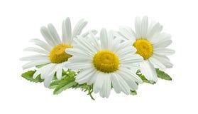 3 chamomile composition isolated on white background Royalty Free Stock Image