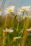 Chamomile is cosmetic, in creams, soaps, shampoos, Royalty Free Stock Photography