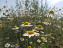 Chamomile covered in sunlight. Camomiles on the field enjoy a sunny afternoon Stock Photography