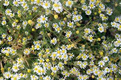 Chamomile daisies Stock Photo