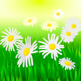 Chamomile. Daisies bloom on a grassy field Royalty Free Stock Image