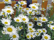 Chamomile. Daisies are blossoming on a garden bed Royalty Free Stock Photo
