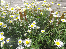 Chamomile. Daisies are blossoming on a garden bed Stock Photos