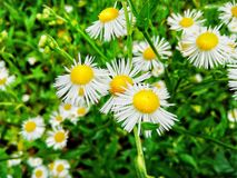 Chamomile. Daisies grow near the house in the garden Royalty Free Stock Photo