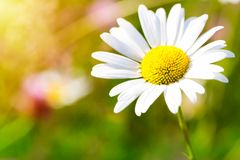 Chamomile daisy flower. Closeup macro shot with shallow depth of field and green blurry background. Nature concept royalty free stock photos