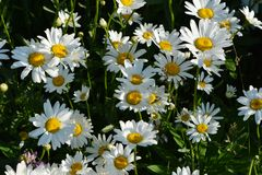 Chamomile or daisy flowering meadow in sunny summer day. Beautiful flowers with white petals and yellow cores.  royalty free stock photos